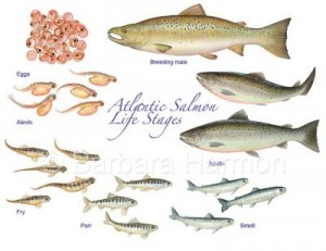 Life Stages of Atlantic Salmon
