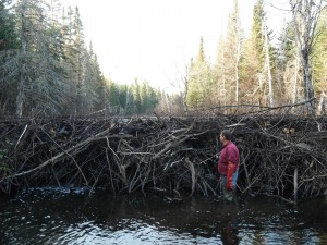 Beaver Dam on Mill Stream - 2013